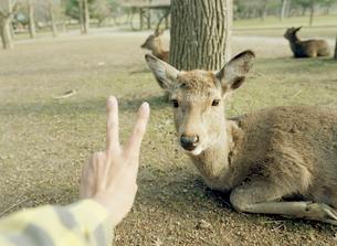 前脚を折り畳む鹿とピースをする手の写真素材 [FYI01713140]