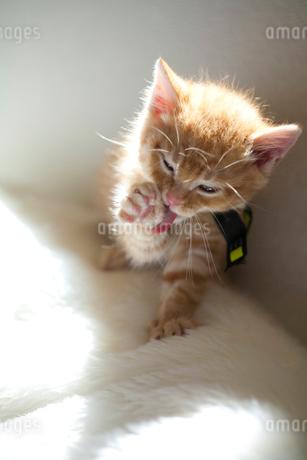 右手の毛づくろいをする子猫の写真素材 [FYI01713254]