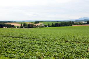 美瑛「パッチワークの路」周辺の農作物の写真素材 [FYI01713333]