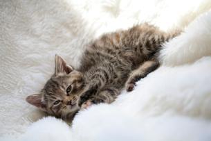 ゴロゴロする子猫の写真素材 [FYI01713341]