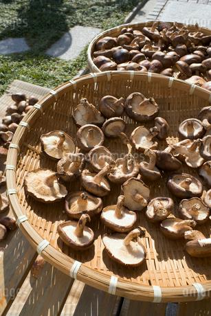 干し椎茸の写真素材 [FYI01713367]