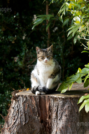 お座りする猫の写真素材 [FYI01713437]