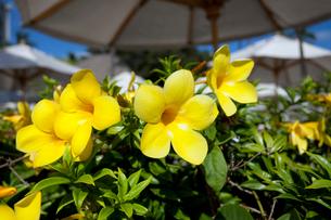 ハワイ州ホノルル ワイキキビーチ 浜辺の花の写真素材 [FYI01713607]