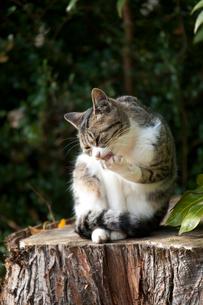 手をなめる猫の写真素材 [FYI01713697]