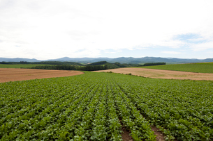 美瑛「パッチワークの路」周辺の農作物の写真素材 [FYI01713730]