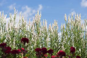 鶏頭の花の写真素材 [FYI01713763]