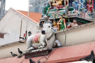 スリ・マリアマン寺院の聖牛の写真素材 [FYI01713805]