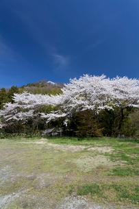 桜咲く佐和山、西側の中腹より頂上を撮影の写真素材 [FYI01713818]