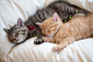グッスリと眠る子猫の兄弟の写真素材 [FYI01713819]