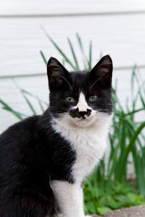 藍島の黒白猫の写真素材 [FYI01713921]