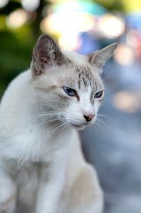 寺院のそばの白いネコの写真素材 [FYI01713926]