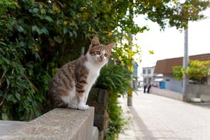 道ばたの塀に座る猫の写真素材 [FYI01714108]