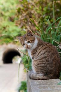 塀の上に座る猫の写真素材 [FYI01714152]