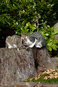 切り株でじゃれあう二匹の猫の写真素材 [FYI01714157]