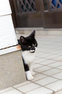 藍島の黒白猫の写真素材 [FYI01714211]