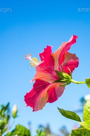 青空に向かって咲く1輪のハイビスカスの写真素材 [FYI01714412]