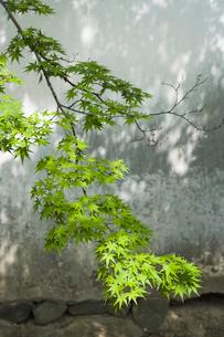 新緑の紅葉 春の写真素材 [FYI01714438]