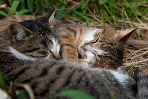 草むらで寝ている猫たちの写真素材 [FYI01714520]