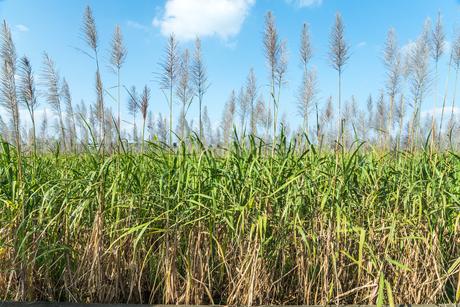 穂を見るサトウキビ畑の写真素材 [FYI01714838]