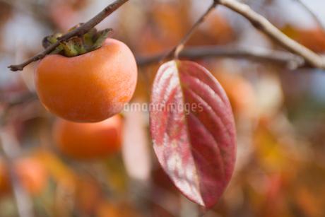 柿 秋の風景の写真素材 [FYI01714848]
