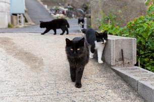歩いている藍島の猫たちの写真素材 [FYI01715063]