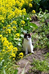 菜の花と黒白猫の写真素材 [FYI01715168]
