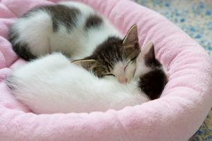 よりそって寝る仔猫の写真素材 [FYI01715226]