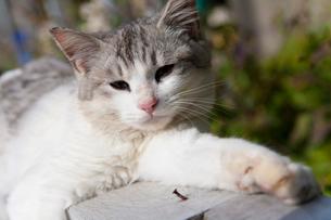 木材の上でのんびりする猫の写真素材 [FYI01715325]