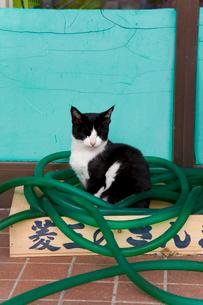 緑色のホースと黒白猫の写真素材 [FYI01715413]