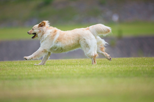 河原を走る犬の写真素材 [FYI01715740]