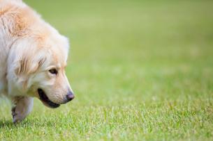 芝生と犬の写真素材 [FYI01715751]
