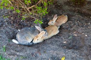 大久野島のうさぎの写真素材 [FYI01715771]