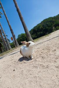 大久野島のうさぎの写真素材 [FYI01715792]