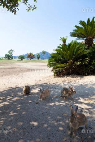 大久野島のうさぎの写真素材 [FYI01716022]