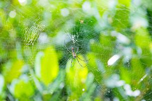 ジョロウグモの巣とフクギの写真素材 [FYI01716154]