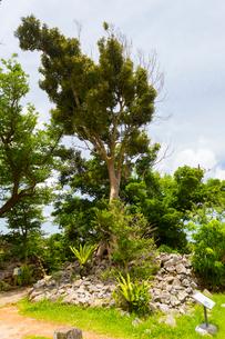 今帰仁城跡のカラウカーの樹木の写真素材 [FYI01716320]