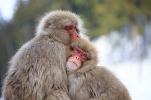 地獄谷の寄り添うお猿さんの写真素材 [FYI01716489]
