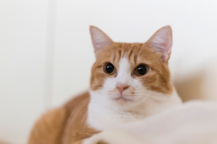 茶白の猫の写真素材 [FYI01716494]