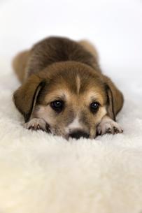 寝そべる茶色の子犬の写真素材 [FYI01716568]