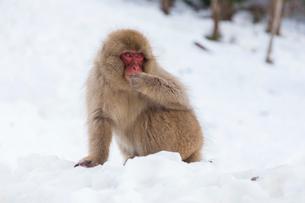 地獄谷 雪山に座るサルの写真素材 [FYI01716584]