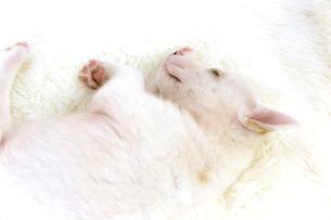 眠る白の子犬の写真素材 [FYI01716657]