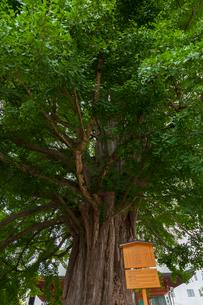 高山 飛騨国分の大イチョウの写真素材 [FYI01716695]