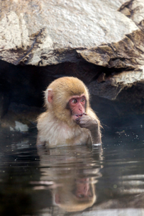 温泉に入る子ザルの写真素材 [FYI01716742]