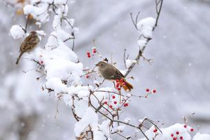 ジョウビタキとサルトリイバラの実と雪の写真素材 [FYI01717697]