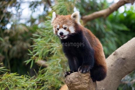 頭上のレッサーパンダの写真素材 [FYI01717813]