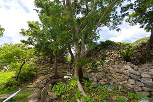 今帰仁城跡のカラウカーの樹木の写真素材 [FYI01717861]