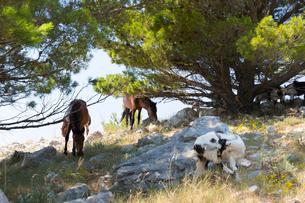 スルジ山頂のヤギと馬の写真素材 [FYI01717873]