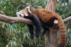 樹上で眠るレッサーパンダの写真素材 [FYI01717988]