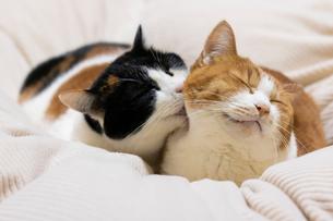 舐める三毛猫の写真素材 [FYI01718047]