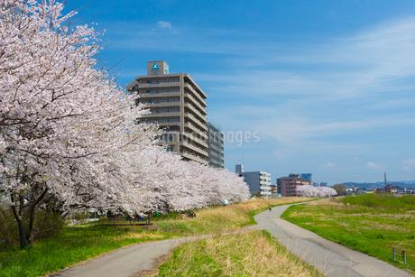 金沢 犀川の桜並木の写真素材 [FYI01718078]